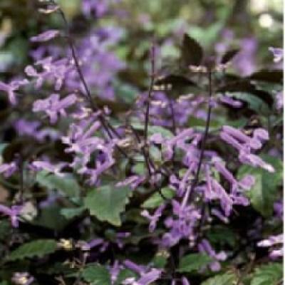 Image of Plectranthus 'Mona Lavender'