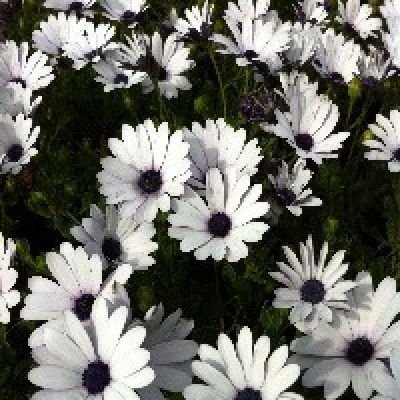 Image of Osteospermum prostrate white