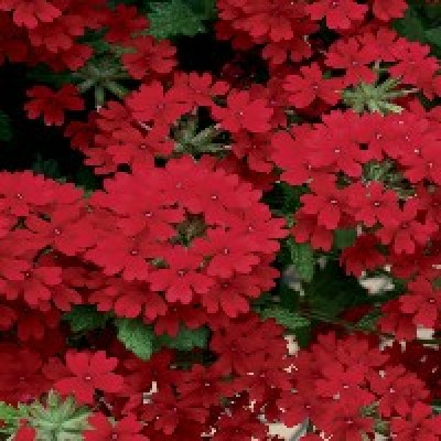 Image of Verbena 'Superbena Royal red