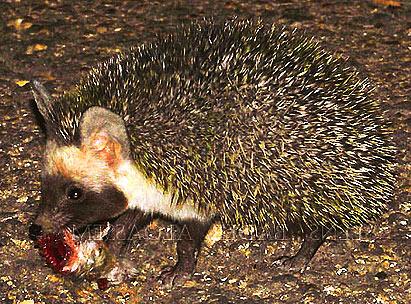 desert hedgehog defensive desert survivor animal pictures and
