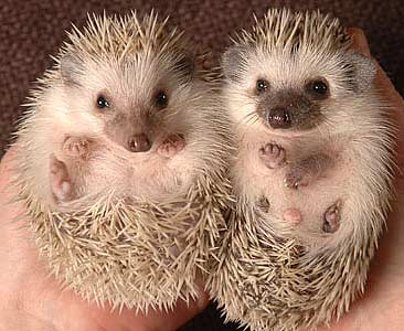 pygmy babies