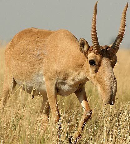 Image result for asian antelope