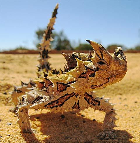 Image result for pics giant desert iguanas