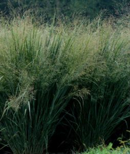 northwind switchgrass perennial of the year