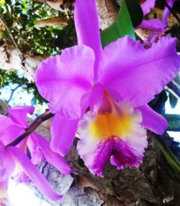 orchidcattleya