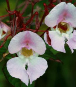 orchidmiltonia