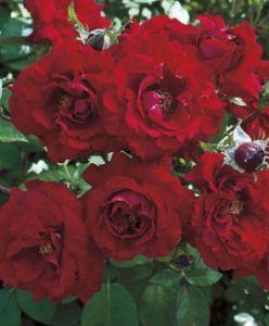 weeks oh my floribunda