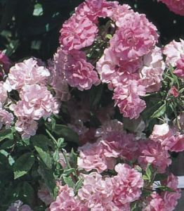 weeks polyantha rose