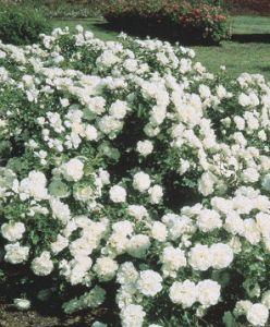 weeks roses white meidiland
