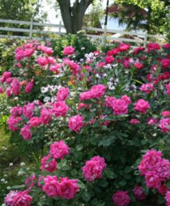 star roses pink double knockout