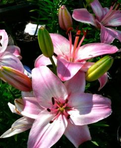 asiaticlily