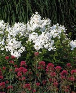waltersgardens-lo2810-phlox-paniculatadavid