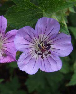rozannegeranium