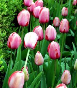 tulipbulbsfall
