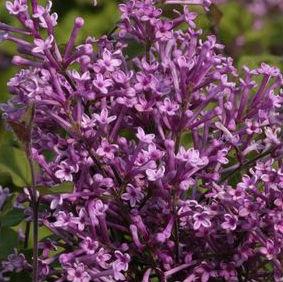 bloomerang lilac prides corner farms