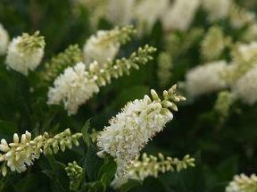 clethra crystalina sugartina prides corner farms