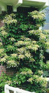 climbing hydrangea studebaker nurseries