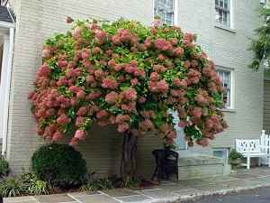 hydrangea peegee tree