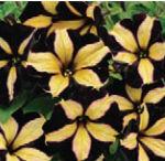 petunia phantom sunny border