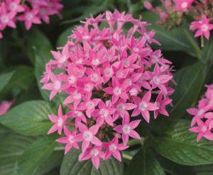 pink pentas proven winners