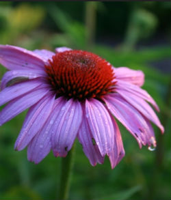 coneflower cutting morgue