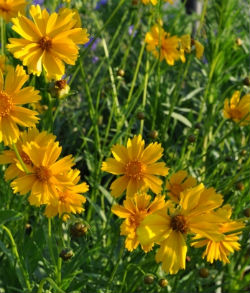coreopsis cutting morgue