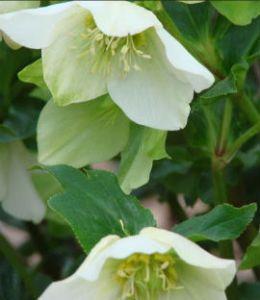 hellebore white lenten rose