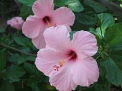 hibiscusmorgue