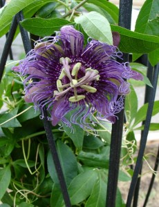 passionflowermorgue