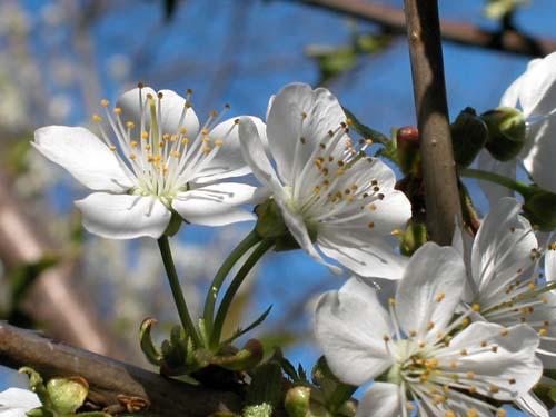 Flatbush Cherry Blossoms