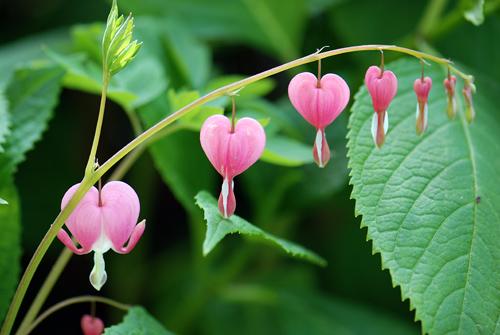 Flatbush Bleeding Hearts