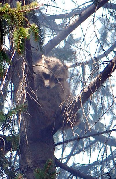 Glenwood Raccoon