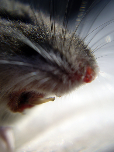 Pesky Rodent