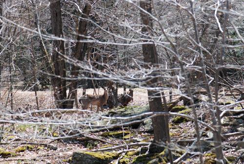 Pocono Deer