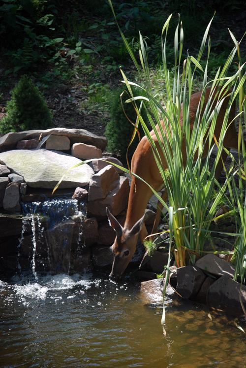 Pocono Deer Pond - Pocono Springs - NEPA - © Frank H. Jump