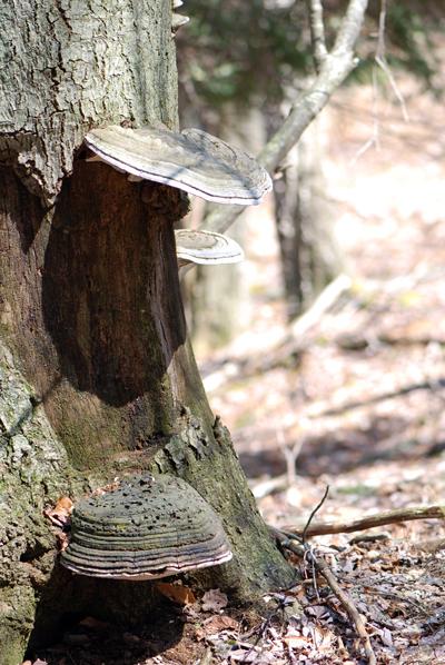 Pocono Fungus