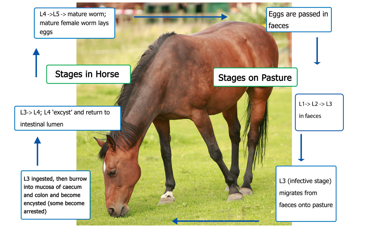 Horses Small Strongyle Life Cycle