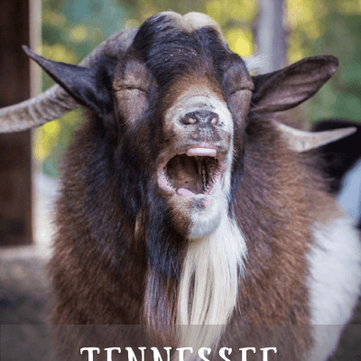 Tennessee Fainting Goats – A Beginners Guide