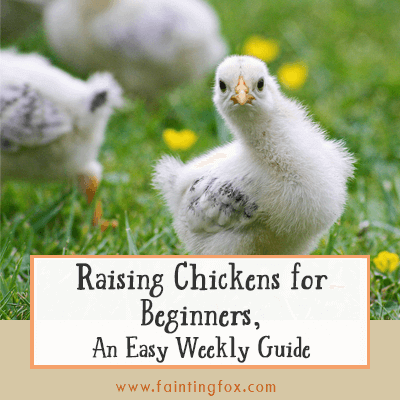 Raising Chicks for Beginners, An Easy Weekly Guide