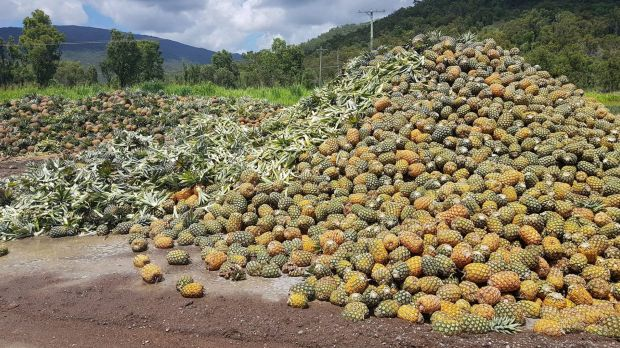A photo posted by NQ Paradise Pines showing tonnes of pineapples going to waste in Rollingstone due to an oversupply and ...