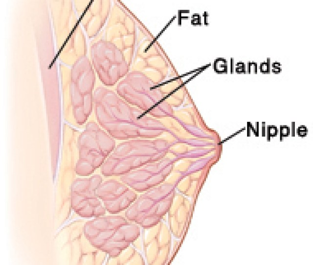 Cross Section Side View Of Breast Showing Nipple Glands Fat And Chest Muscle