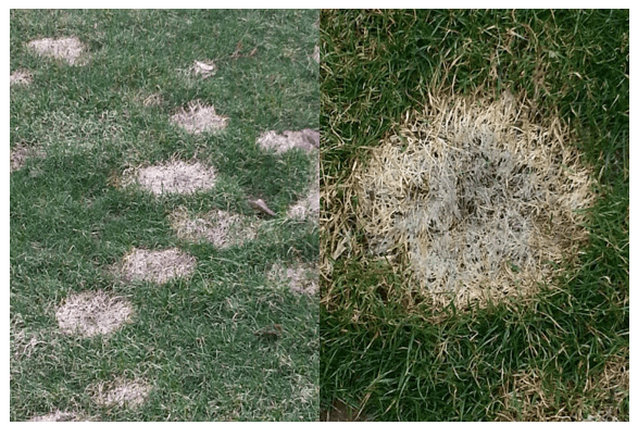 examples of snow mold disease