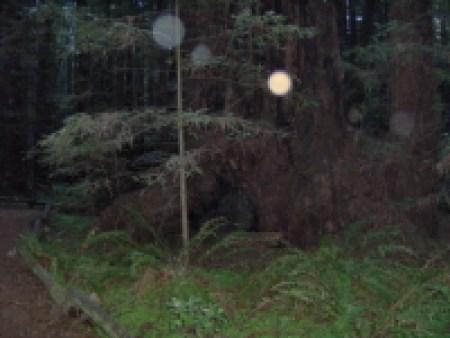 Faery globes in redwood forest by Bernadette Wulf
