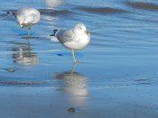 shorebirds in RI