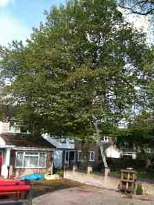 Hornbeam before