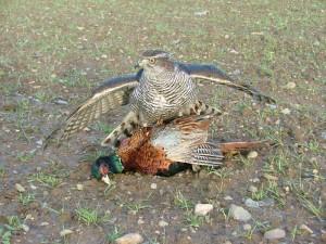 gos-on-pheasant