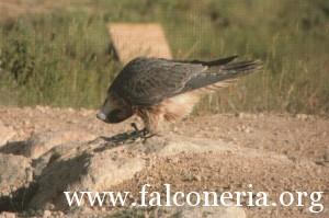 addestramento falconi altani 0002b