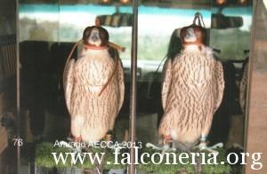 addestramento falconi altani 0011
