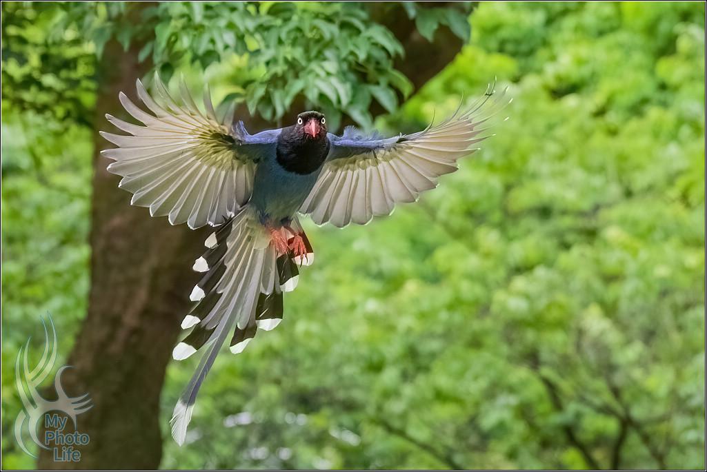 台灣藍鵲飛行版拍攝初體驗1038