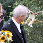 Wedding Ring Delivery by Red Tail Hawk
